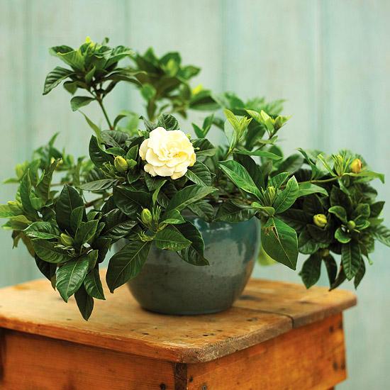 La gardenia è una pianta d'appartamento molto bella ma delicata, i cui fiori sono intensamente profumati