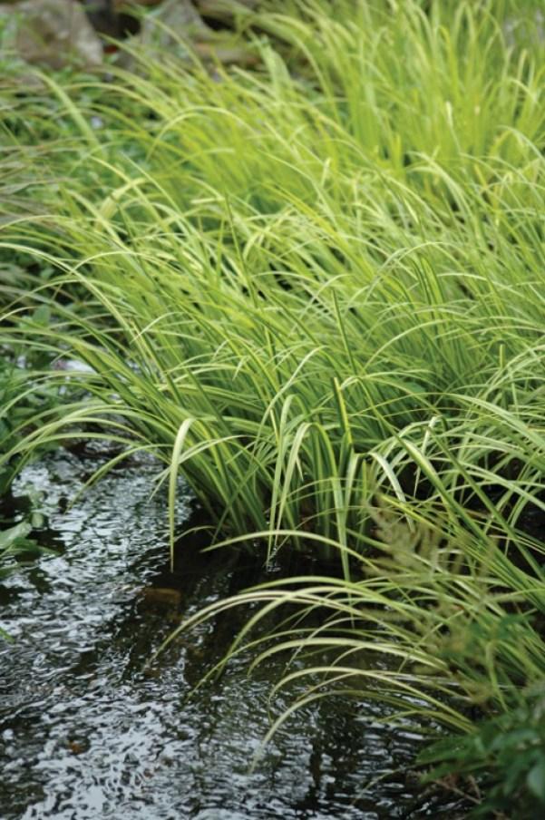 Il calamo aromatico (Acorus calamus) è una pianta ripariale che non raggiunge una grande altezza ma che rappresenta un'ottima scelta per migliorare l'aspetto di qualsiasi laghetto