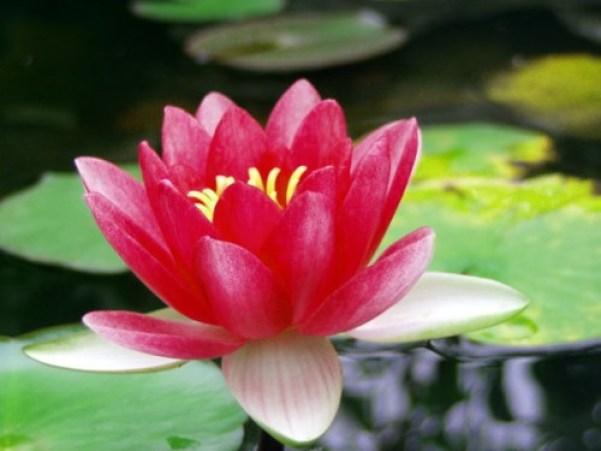 la ninfea è una pianta acquatica profonda che richiede una coltivazione ad una certa profondità a seconda della specie