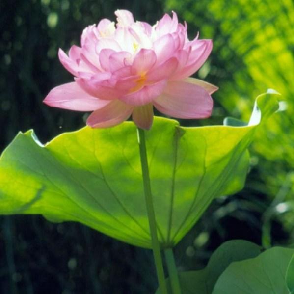 il Loto è una pianta acquatica profonda in grado di aggiungere al paesaggio naturale del giardino una nota esotica e un aspetto davvero unico