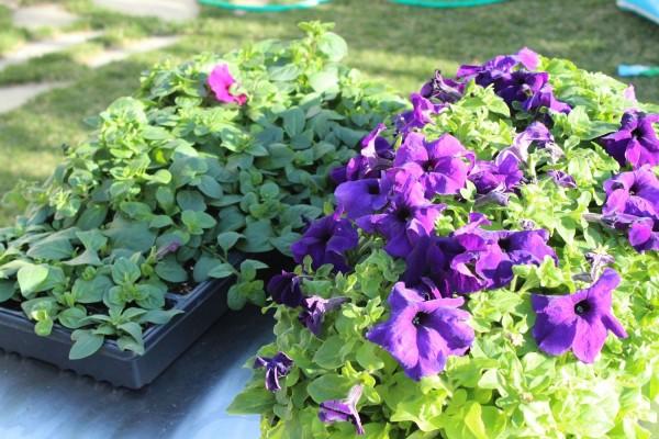 contenitori con piante fiorite
