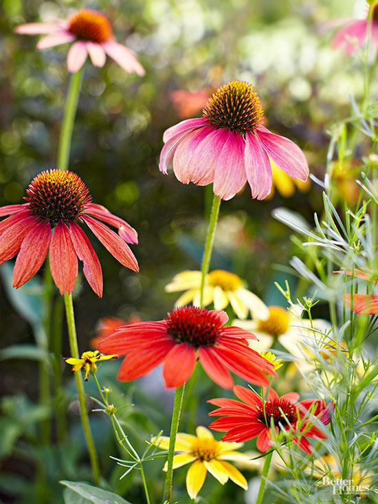 L' Echinacea fiorisce in estate e in autunno; questa pianta supporta naturalmente anche gli inverni più rigidi, anche se si deve prestare attenzione ad alcuni ibridi moderni non sono meno tolleranti al freddo