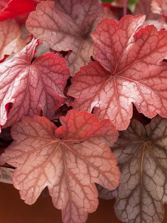 La Heuchera è una pianta perenne erbacea che spesso viene aggiunta tra le coltivazioni del giardino soprattutto per la bellezza e il colore del fogliame