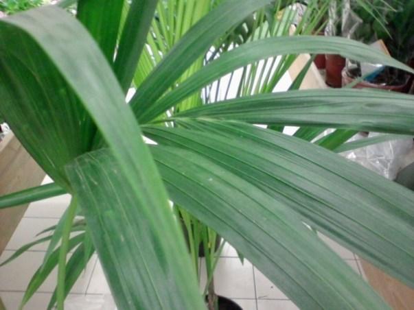 La palma da cocco risulta davvero molto decorativa sia grazie alle foglie lunghe e pinnate, di un bellissimo verde acceso, che alla grande noce che si trova alla base delle pianta