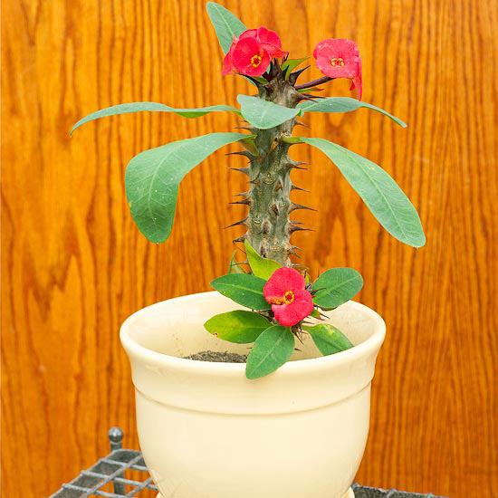 L'Euphorbia milii è originaria del Madagascar e può fiorire tutto l'anno se posizionata dove riceve molta luce