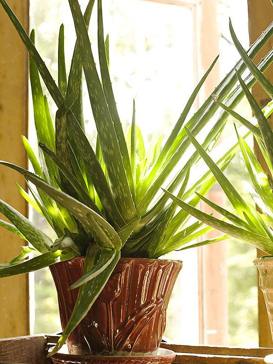 l'Aloe vera è considerata una specie molto decorativa; la sua coltivazione è davvero semplice ed è possibile sfruttare le proprietà lenitive e curative della sua linfa