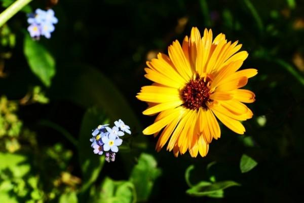 La Calendula è un vero e proprio fiore medicinale già noto nell'antichità per le sue proprietà lenitive
