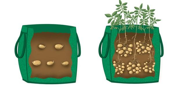 coltivare le patate