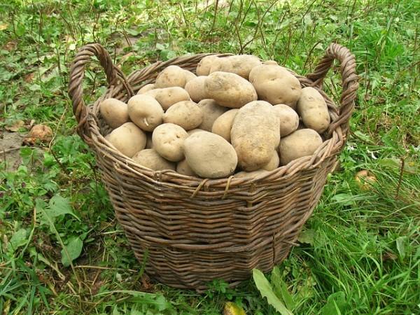 raccolto di patate