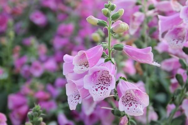 """La digitale è una bellissima ed appariscente pianta erbacea, coltivata a scopo ornamentale e nota anche come """"ditale della Madonna"""""""