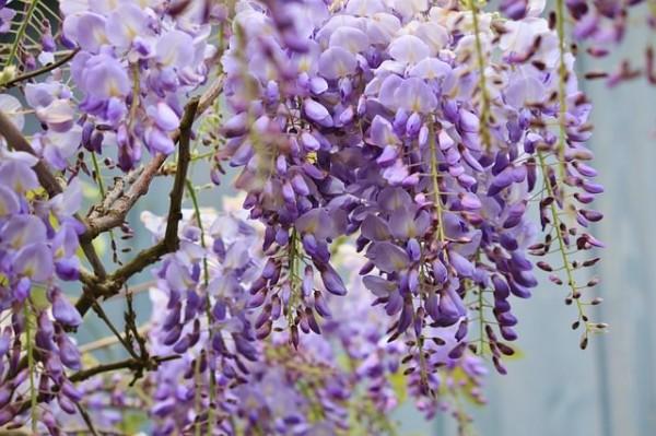 Il Glicine è una pianta rampicante molto utilizzata nei gazebo e lungo le recinzioni per via del suo magnifico colore e del profumo intenso