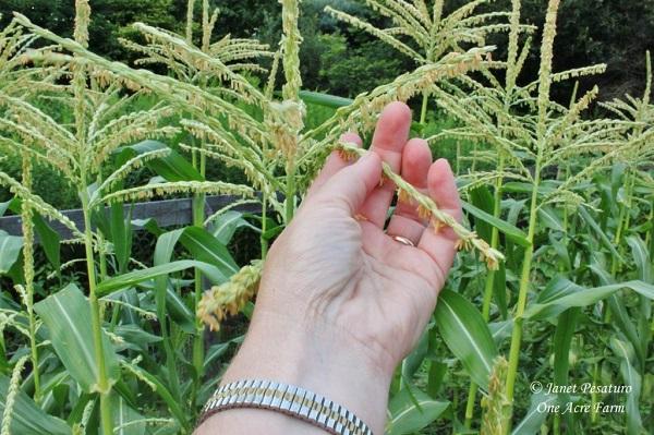 coltivare il mais