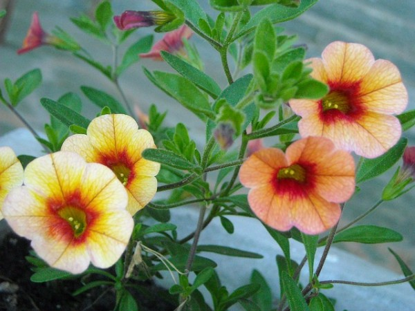 La Calibrachoa ha bisogno di una buona esposizione solare per produrre una fioritura abbondante