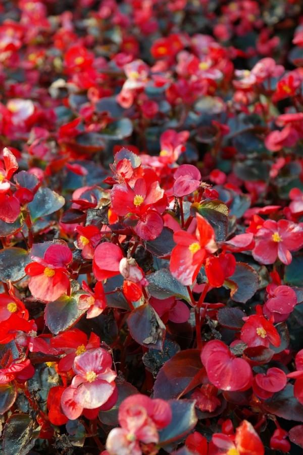 10 stupendi fiori da piantare in primavera guida giardino for Begonia pianta