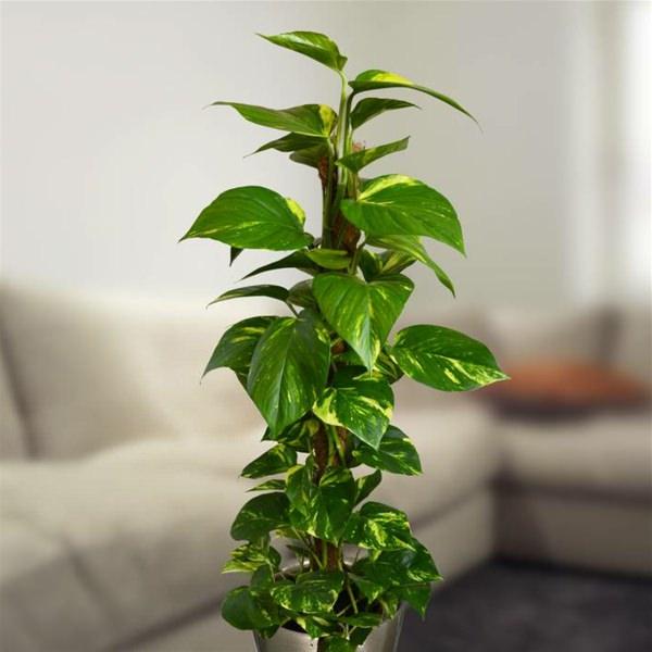 Il Pothos è una pianta d'appartamento molto utilizzata a scopo decorativo; necessita di un ambiente luminoso, ma non tollera l'esposizione diretta alla luce del sole di luce