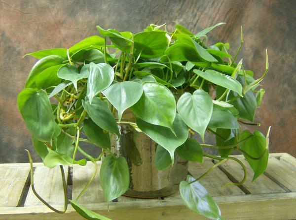 Il Filodendro ha bisogno di molta luce e poca acqua; è una pianta molto decorativa grazie alla crescita ricadente