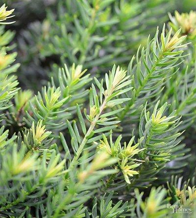 Il tasso è un piccolo albero dell'ordine delle conifere molto utilizzato come pianta ornamentale