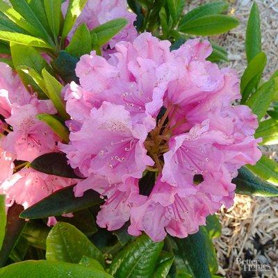 I rododendri, che appartengono allo stesso genere delle azalee ma sono arbusti più grandi, hanno bisogno di terreni acidi e sempre umidi;