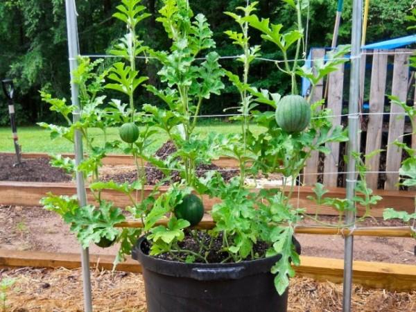 coltivare le angurie in vaso