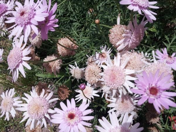 La Margherita delle Canarie, il cui nome scientifico è Argyranthemum frutescens, è una pianta erbacea appartenente alla grande famiglia delle Asteraceae