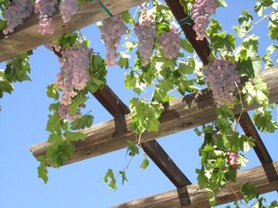 La vite è una delle colture tipiche del clima mediterraneo; decidere di utilizzarla per decorare un pergolato significa aggiungere al giardino un elemento decorativo e pratico