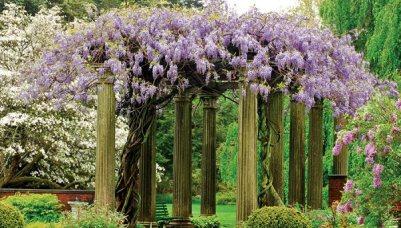 Il Glicine è una rampicante bellissima e facile da coltivare, la sua abbondante fioritura è in grado di creare meravigliose macchie di colore nel giardino