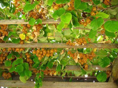 il kiwi è il frutto di una rampicante con la quale possiamo decidere di decorare il pergolato