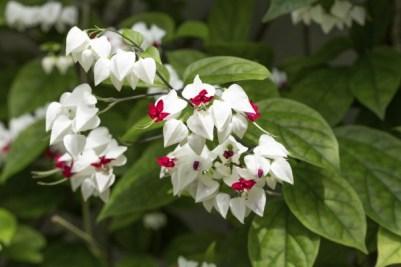 Clerodendrum, pianta tropicale dell'Asia e dall'Africa che cresce bene in un luogo chiuso o molto caldo