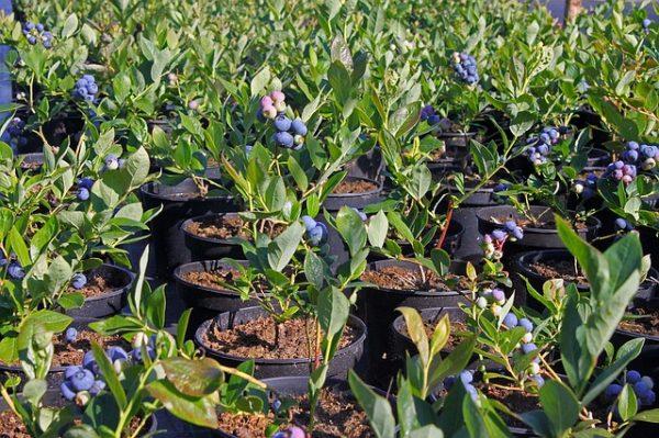 coltivare i mirtilli
