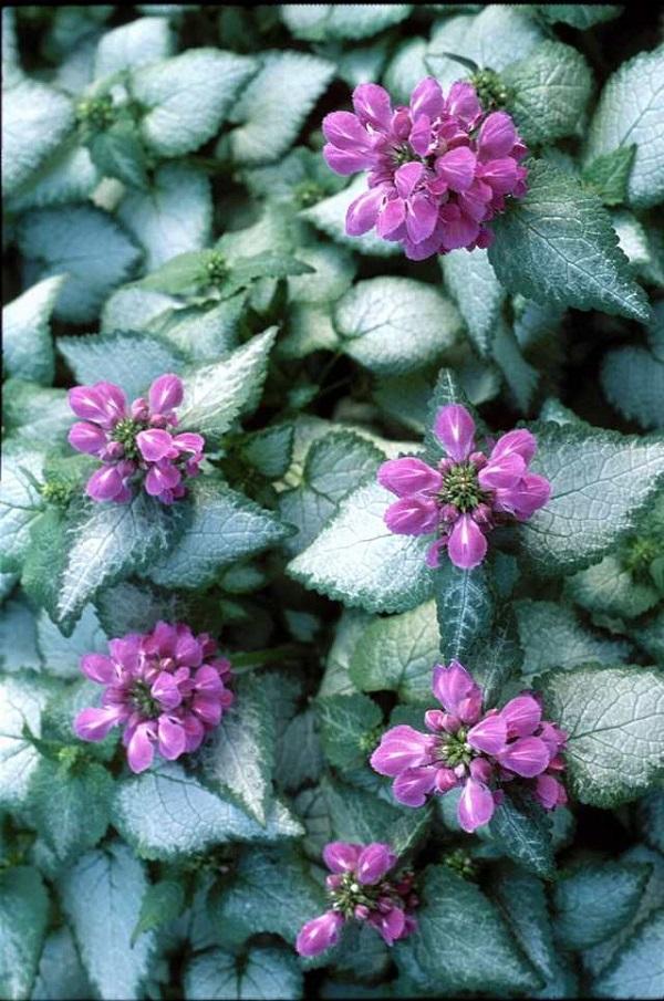 """Il Lamium maculatum, detto anche """"falsa ortica"""", è noto per la sua fogliame variegato ed i suoi grappoli compatti di fiori bianchi, viola o rosa"""