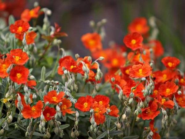 Il genere Helianthemum comprende un vasto numero di piccole piante erbacee annuali o perenni, che possono essere utilizzate come rivestimenti e producono deliziose fioriture decorative