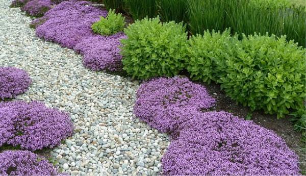 Il timo selvatico, Thymus serpyllum, è un'erba aromatica bassa e molto resistente