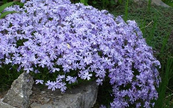 Il Phlox è una pianta a crescita strisciante che produce bellissimi fiori di tonalità variabili tra il lilla, il rosa e il bianco