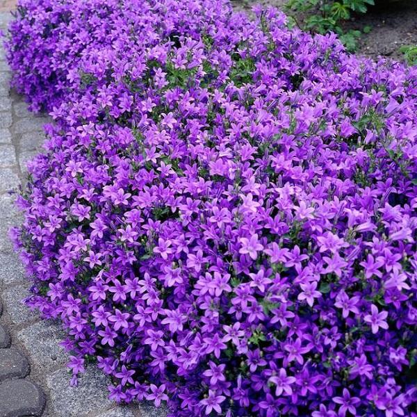 La Campanula portenschlagiana è una pianta in grado di formare un morbido tappeto di piccole foglie arrotondate con piccoli fiori stellati di una stupenda tonalità blu-viola