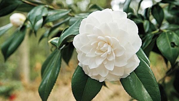 La Camellia, meglio conosciuta come Camelia, è una pianta fiorita e sempreverde appartenente alla famiglia delle Theaceae; originaria dell'Asia orientale, è attualmente diffusa in tutto il Pianeta