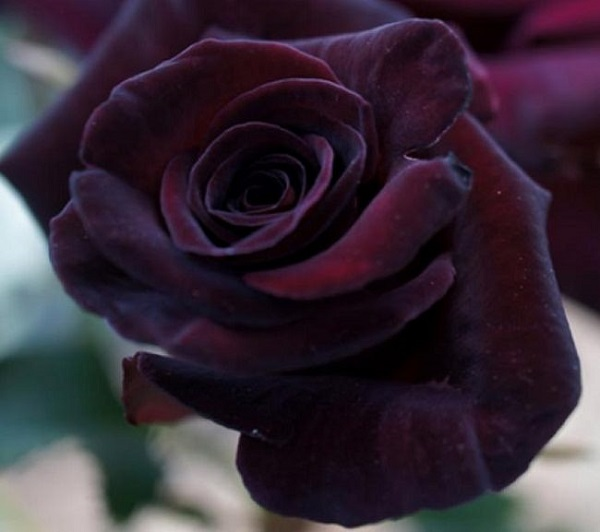"""La rosa """"Black Baccara"""" è un fiore davvero impressionante per la sua dimensione, nonché per il colore e l'aroma"""
