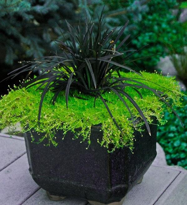 """L'Ophiopogon planiscapus Nigrescens, detto anche """"pianta nera"""", è una specie molto utilizzata come ornamentale soprattutto in Giappone"""