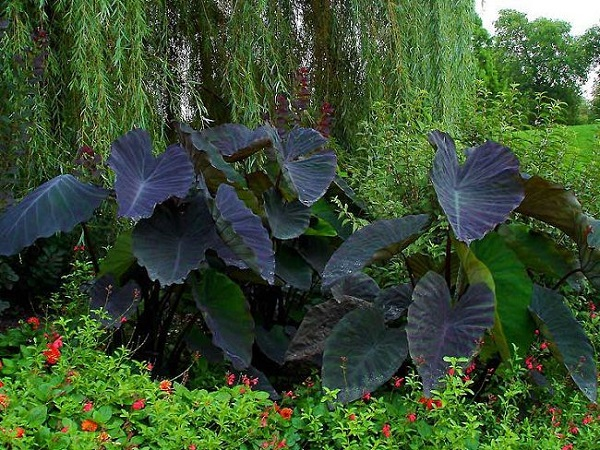 "La Colocasia ""Black Magic"" è una pianta tropicale che richiede elevate temperature"