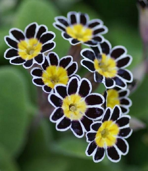 """La Primula """"Victoriana Lace Silver Black"""" è una coltivazione tra le più rare ed affascinanti che si possano tentare"""