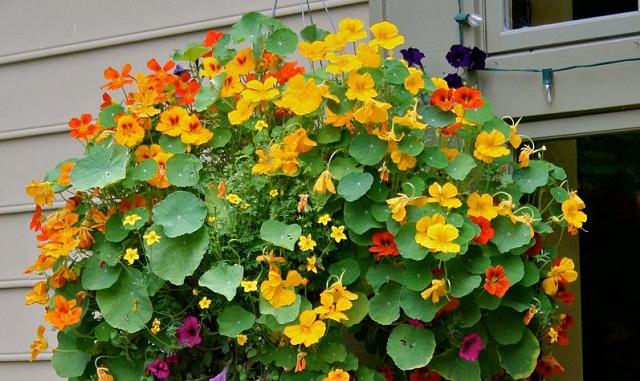 Il Nasturzio è una delle varietà più adatte alla coltivazione in vasi appesi; si tratta di una pianta a crescita rapida