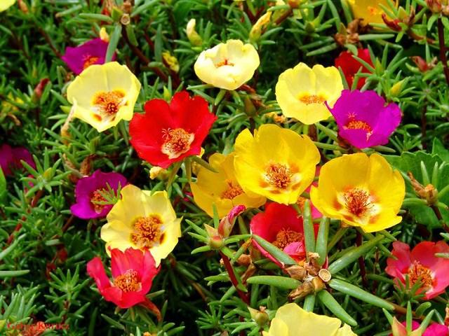 La Portulaca, molto utilizzata per ricoprire il terreno, può essere coltivata con successo anche nei vasi appesi, proprio grazie alla sua crescita strisciante.