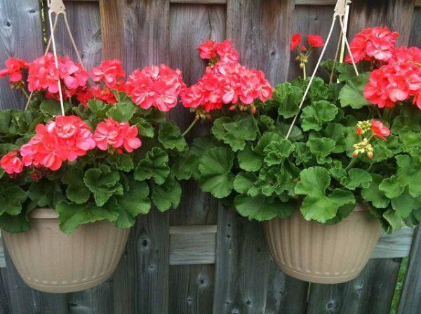 las-mejores-plantas-para-cestas-colgantes-08