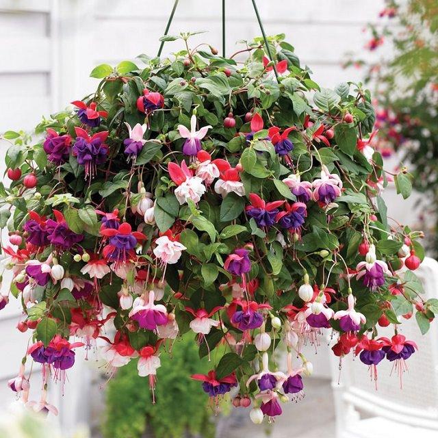 La Fucsia, con la sua elegante ricaduta, è una pianta davvero perfetta per la coltivazione in cesto appeso