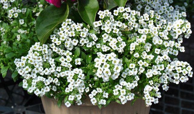 La Lobularia è una pianta molto apprezzata per la sua magnifica fioritura; i fiori di colore rosa, lilla o bianchi creeranno, ne vasi appesi, un effetto altamente suggestivo