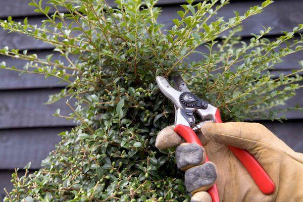 trasformare un semplice arbusto in una topiaria
