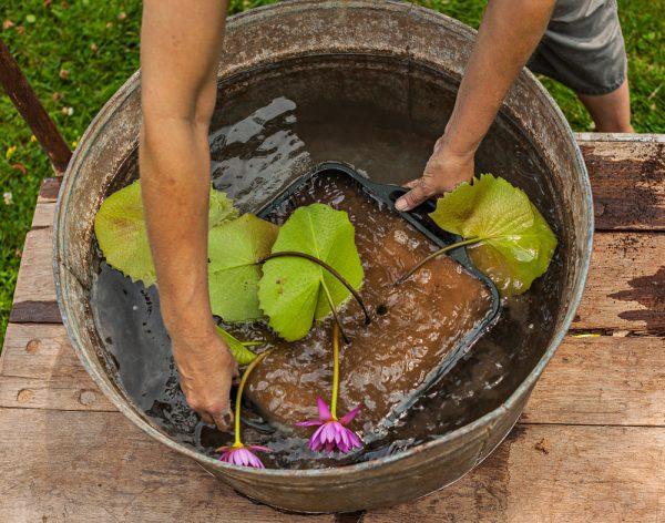 Ninfea immersa nel contenitore pieno d'acqua