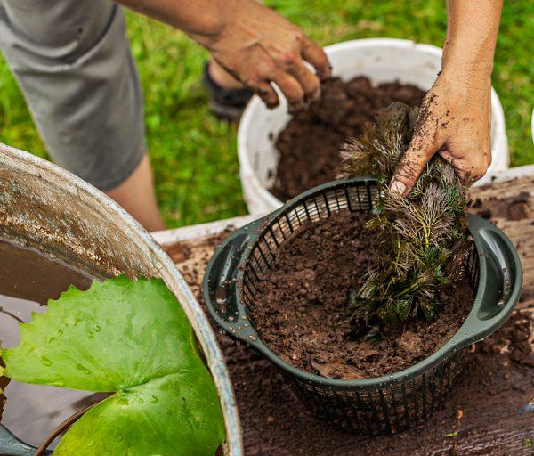 Coltivazione di una pianta ossigenante