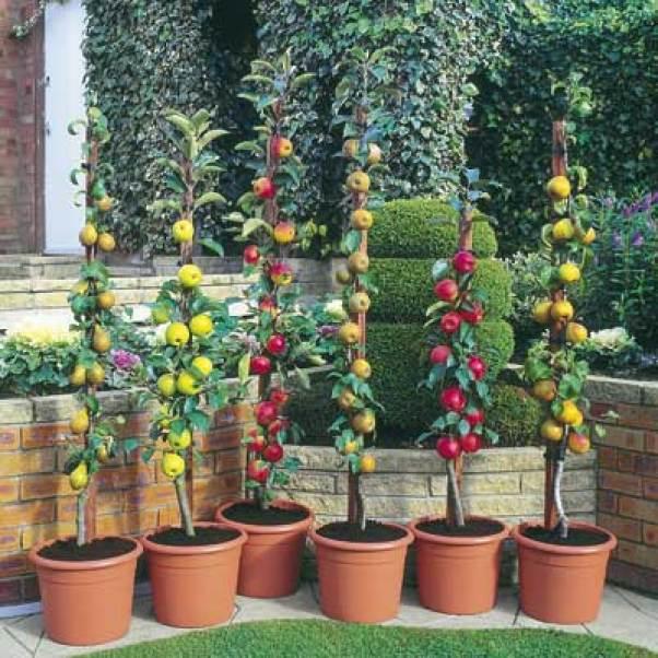 alberi da frutto colonnari decorativi e perfetti per