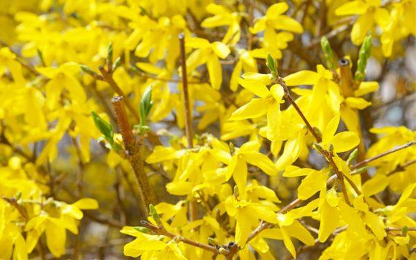 Forsythia è un arbusto che cresce ad una velocità sorprendente, il suo tronco e i rami sono legnosi e completamente coperti da piccoli fiori gialli