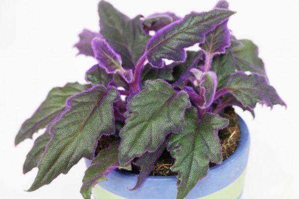 la Gynura aurantiaca si distingue per il fogliame vellutato di colore verde con margini viola